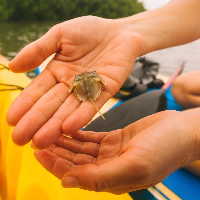 I can't believed we found a baby horseshoe crab! Because of their origin 450 million years ago, horseshoe crabs are considered living fossils (that's 2 million years before dinosaurs). Here's some REALLY wild facts about these mind blowing crabs which...
