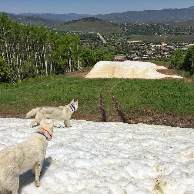 Even though it's summer here in Park City, there's still snow left in the mountains. Yuki and Bentley were very happy to play in/on/around it yesterday. #snowfiends #BentleyChickenFingersBlock #YukiTheDestroyer #ParkCity