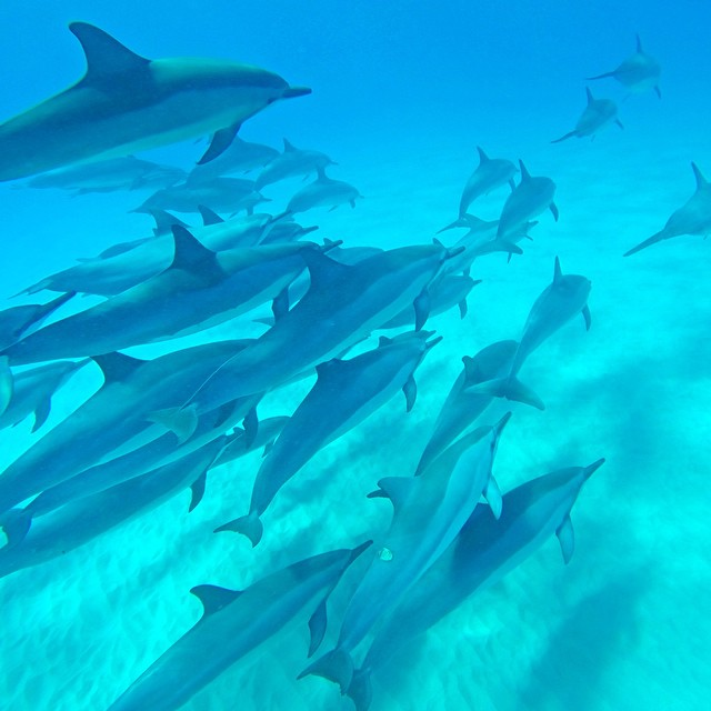 @claucoxrfavela enjoying a fun morning swimming with a pod of dolphins. GoPro HERO4 | GoPole Evo #gopro #gopole #gopoleevo #dolphins #hawaii #