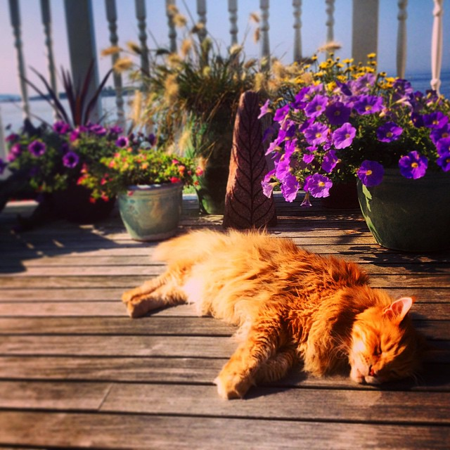 After almost 18 wonderful years Fitzpatrick left the Whitehouse family this afternoon for whatever life has in store for him next.  He spent the day in classic style napping amongst moms gardens in the Maine sea breeze. Given his already used 9 lives...