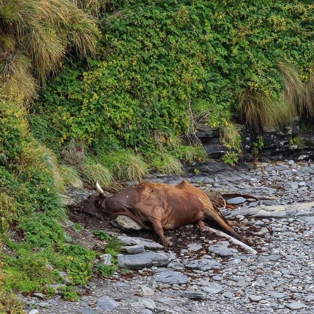 Este es el momento donde uno toma conciencia y se da cuenta de las dificultades del terreno y lo dura de la expedición.  Hasta las vacas ariscas, quienes viven ahi todo el año, se desbarrancan por los acantilados.