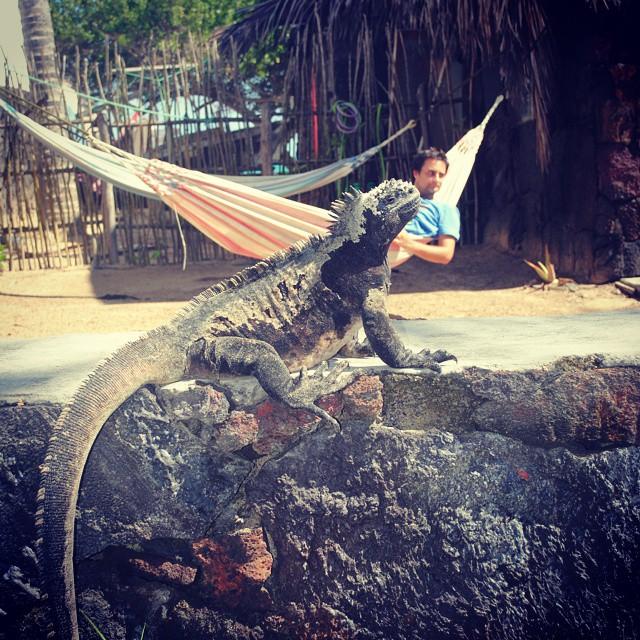 #iguanasmarinas en #isabela Mae Tuanis #surfing #Galapagos