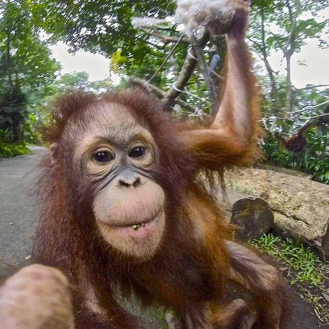 Photo of the Day! @Koovman collaborates with an orangutan for this selfie! Show us you best animal and pet photos by clicking the link in our profile. #Wildlife #Orangutan #Selfie #photooftheday