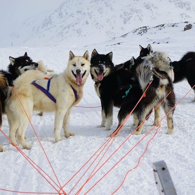 A gem for all the #dog lovers out there! Cuties from @tahomajillian, spotted during her #Greenland #adventures this spring. #sisterhoodofshred #dogsofinstagram