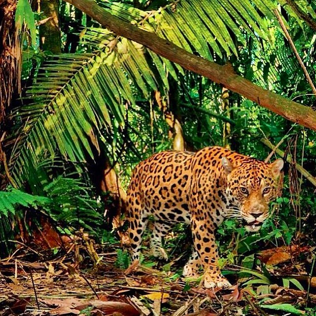 Oh hey. #jaguar #cuipo #saverainforest #respect&protect