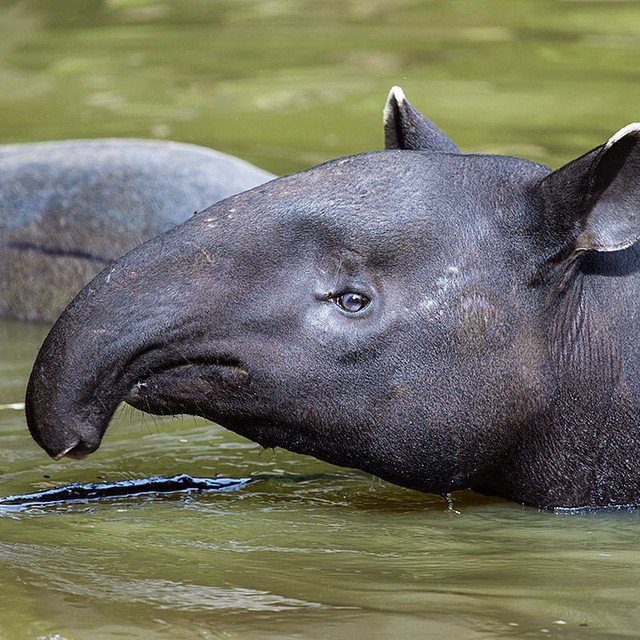 #WildlifeWednesday: Tapirs look similar to pigs with flexible snouts that work like trunks, but they are actually related to horses and rhinoceroses. They are #herbivores that use their noses to grab branches to eat their leaves and fruit. Today, there...