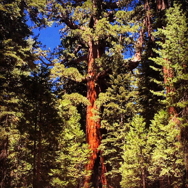 The Grizzly Giant Sequoia may not be the tallest giant Sequoia out there but it might be the grandest to us with one of its branches being taller than any other tree (other than the Sequoias) in Mariposa Grove
