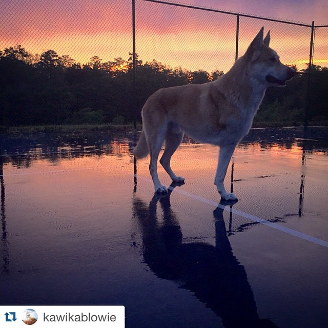 Check out our founder @kawikablowie  #repost Playing on the tennis course in the rain... Such elegance. #tripawd #tripaw #wolftrainingacademy #wolfie #kawikablowie #wolfmx