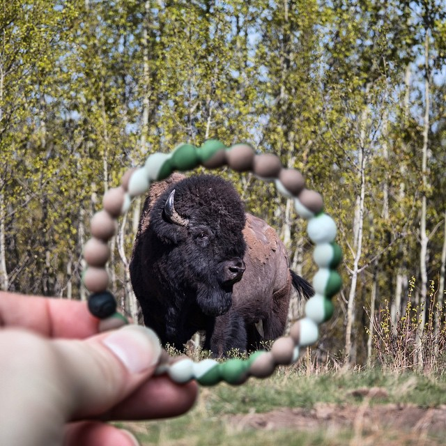 Did you know that Bison graze on one of the toughest landscapes in the world?! @world_wildlife is doing an awesome job protecting these lands so our Bison friends have a home. Happy grazing! #livelokai Thanks @marynthenorth