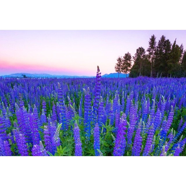 Anyone who lives in Tahoe knows that the lupines are GOING OFF right now.  Brought to by @matt.bansak.photography _ #thisistahoe #tahoemade #itswayoutthere