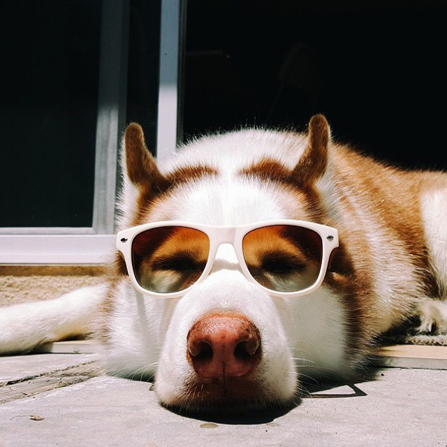 Welcome to the dog days of summer. We love seeing you (and your pets) in SOLOs! Tag @soloeyewear and use the hashtag #SOLOeyewear! Thanks for sharing, @chrisluong!