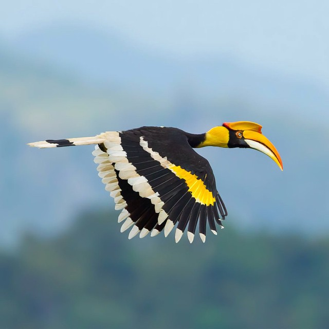 The great hornbill is one of the larger members of the hornbill family, best known for the yellow casque on top of its bill. Great hornbills live in #rainforest canopies and play a large part in keeping a balanced ecosystem by preying on small mammals,...