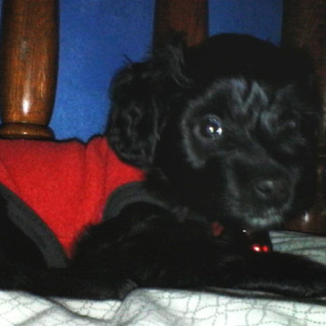 El bebe quería dormir en la cama #puppydog #puppy #puppylove #dogsofinstagram #dogstagram #dog