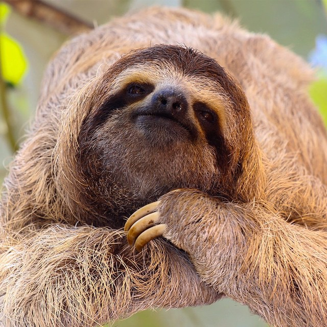 #WildlifeWednesday: The brown-throated #sloth is the most common of the three-toed sloths. They sleep 15-18 hours a day and even though they can walk along the ground (suuuper slowly) and swim (surprisingly fast), they spend most of their time napping...