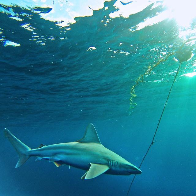 Happy @sharkweek! Photo: @waterlife_h20 #gopro #gopole #gopoleevo #sharkweek #bestweekoftheyear