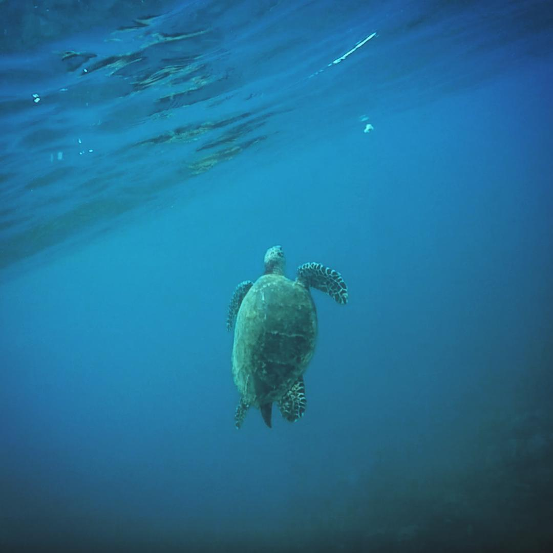No one knows how they do it... But Sea Turtles can travel over 10,000 miles per year to random corners of the ocean but females will always return to the very same beach they were hatched to then lay their eggs /// There are seven species of Sea...