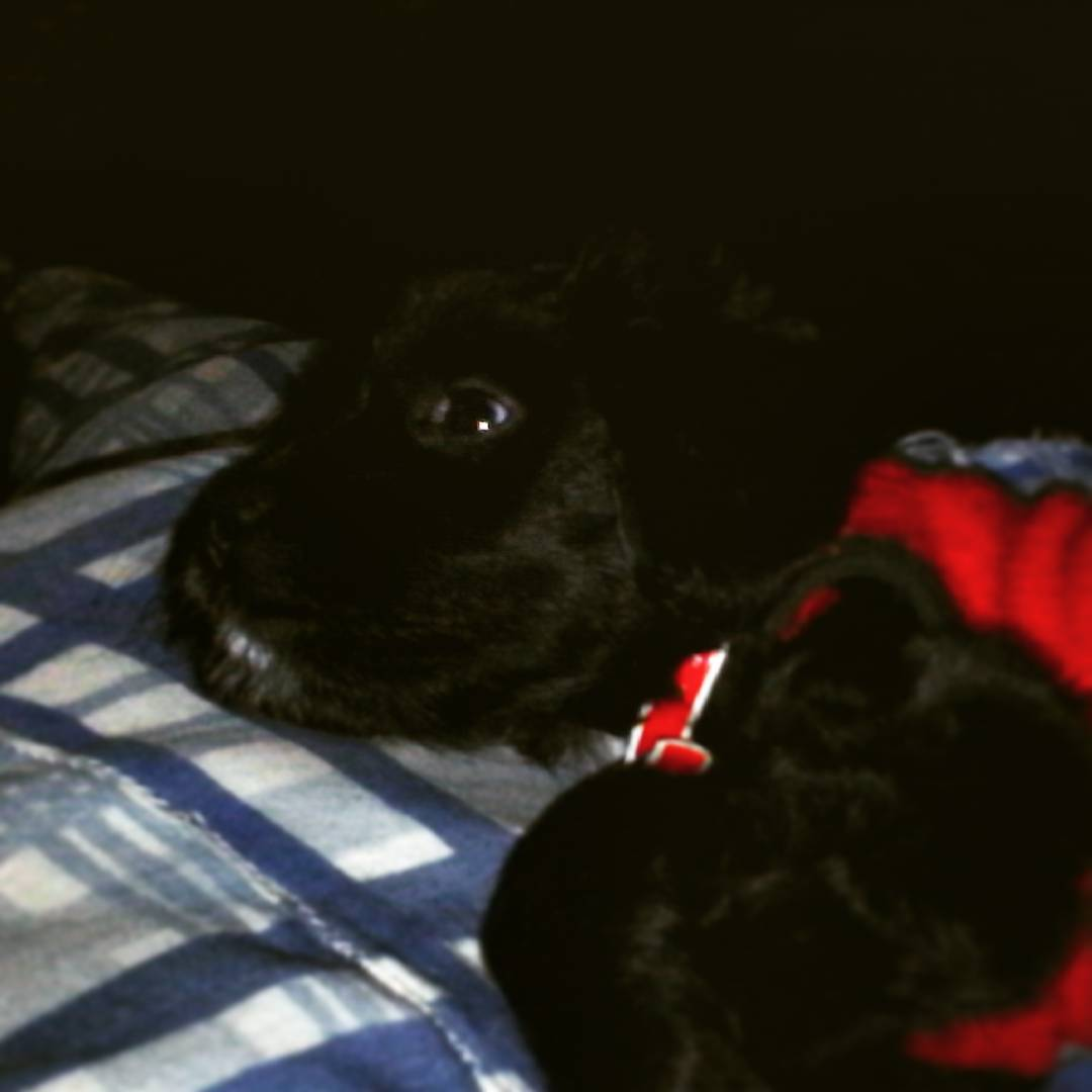 It is lovely waking up with this little buddy #puppydog #puppy #dogsofinstagram #dogstagram #barto #doggie #elbarto #buddy #dog