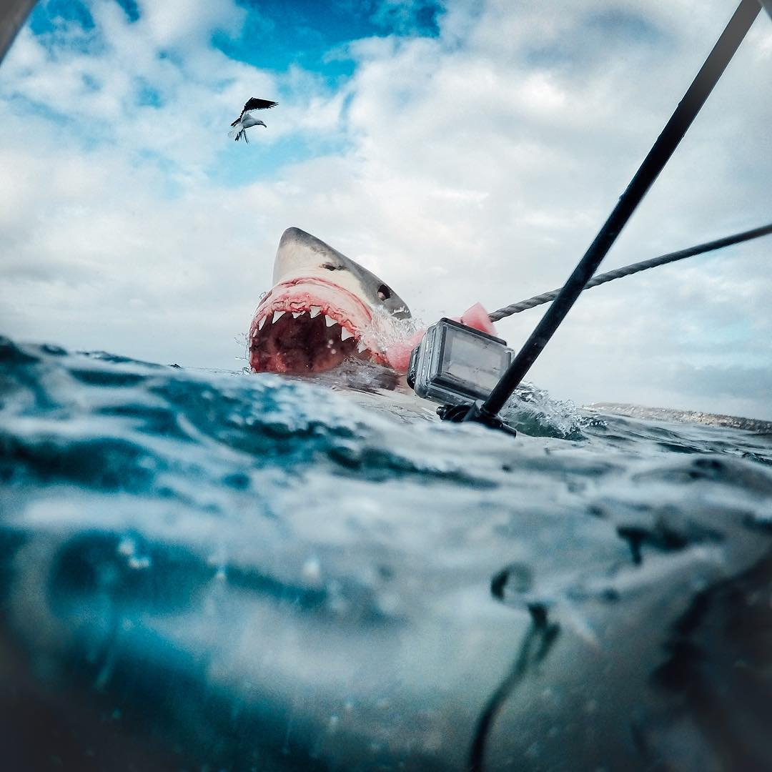 It's Shark Week! Getting up close and personal with Great White Sharks, @ab_roo co-founder of @sharkservation captures moments like these in Mossel Bay, South Africa with her HERO4 Black. She expresses the danger that sharks face everyday and the...