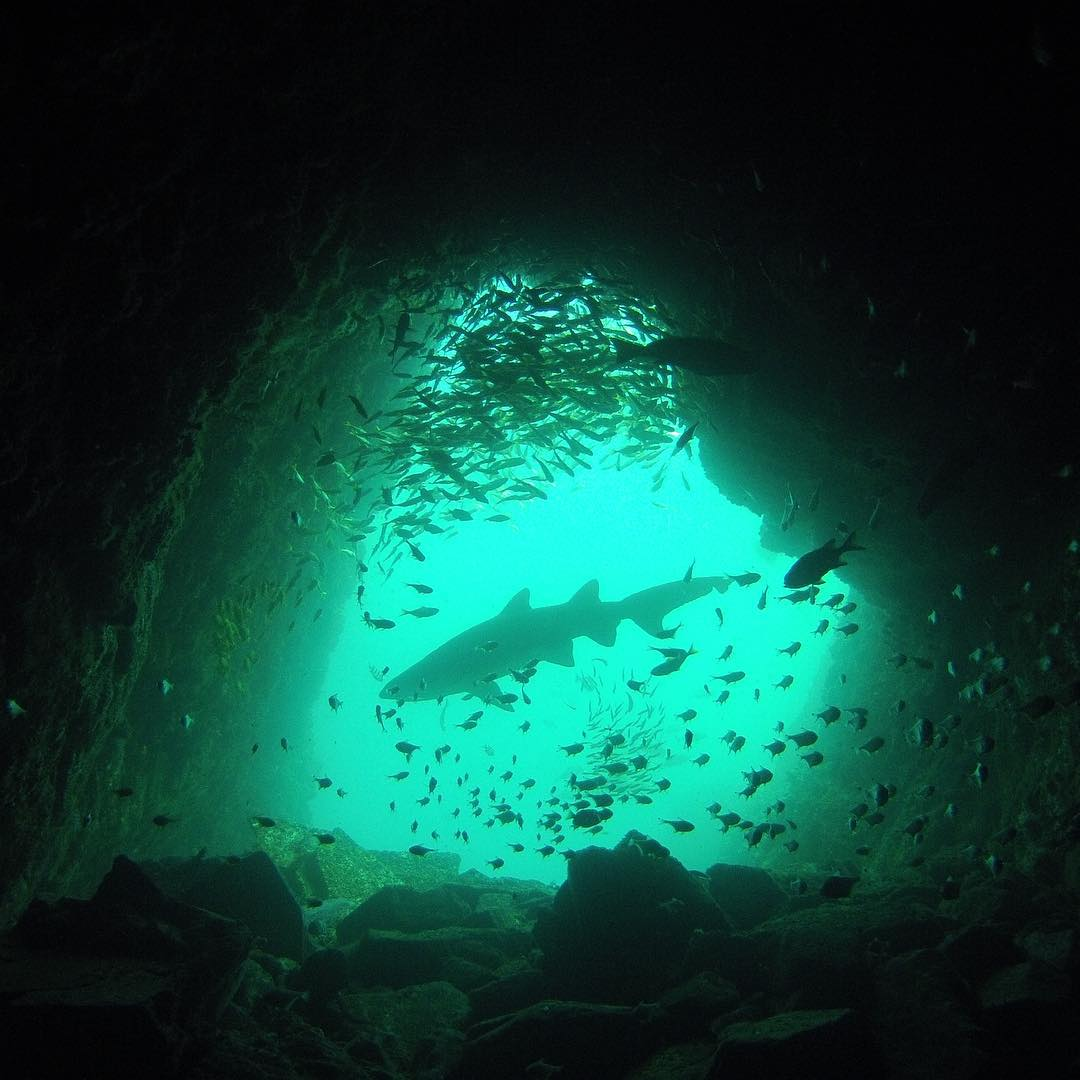 #SharkWeek continues! @matpetcamale caught this Grey Nurse Shark exiting Fish Rock Cave in Australia. #GoPro #Dive #Sharkweek