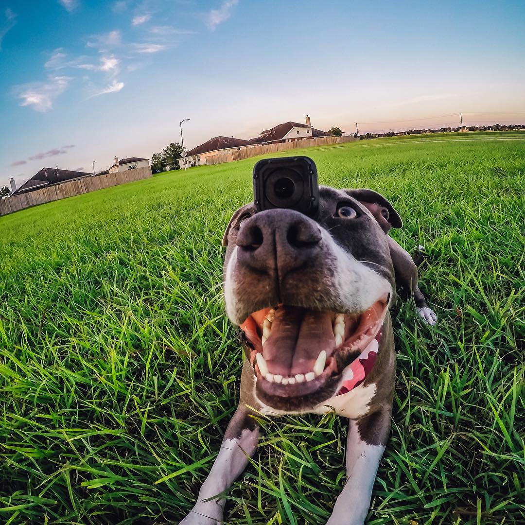 Kalea loves bringing her #HERO4Session to the dog park! Photo by @gurustunts #GoPro #Pets #Dogs