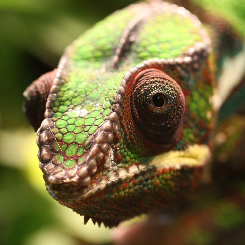 #Chameleons have special cells in their skin that gives them their famous ability to change colors and in some species, camouflage to their surroundings. Changing colors serves as a survival skill, a form of communication, and as a response to light,...