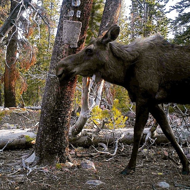 Talk about a profile pic. This moose struck a pose for #CameraTrapTuesday during the #ASCUintas Carnivore Survey.  #TrailCamTuesday #adventurescience