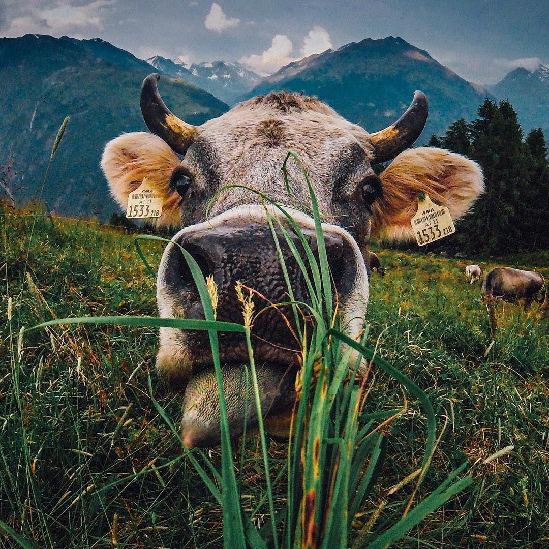 @laurence_ce introducing himself to the Austrian locals. Submit your raddest photos by clicking the link in our profile. #GoPro #Cows #GoProTravel #MOO