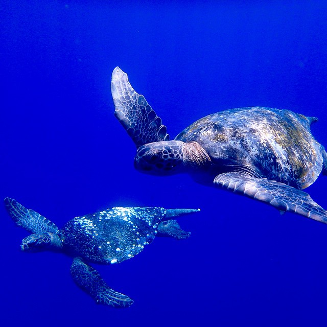Turtles swim in synchrony offshore in Mexico, where sailors from @greencoconutrun collect samples for the #ASCMicroplastics project.  #turtledance #underthesea #underwaterphotography #adventurescience
