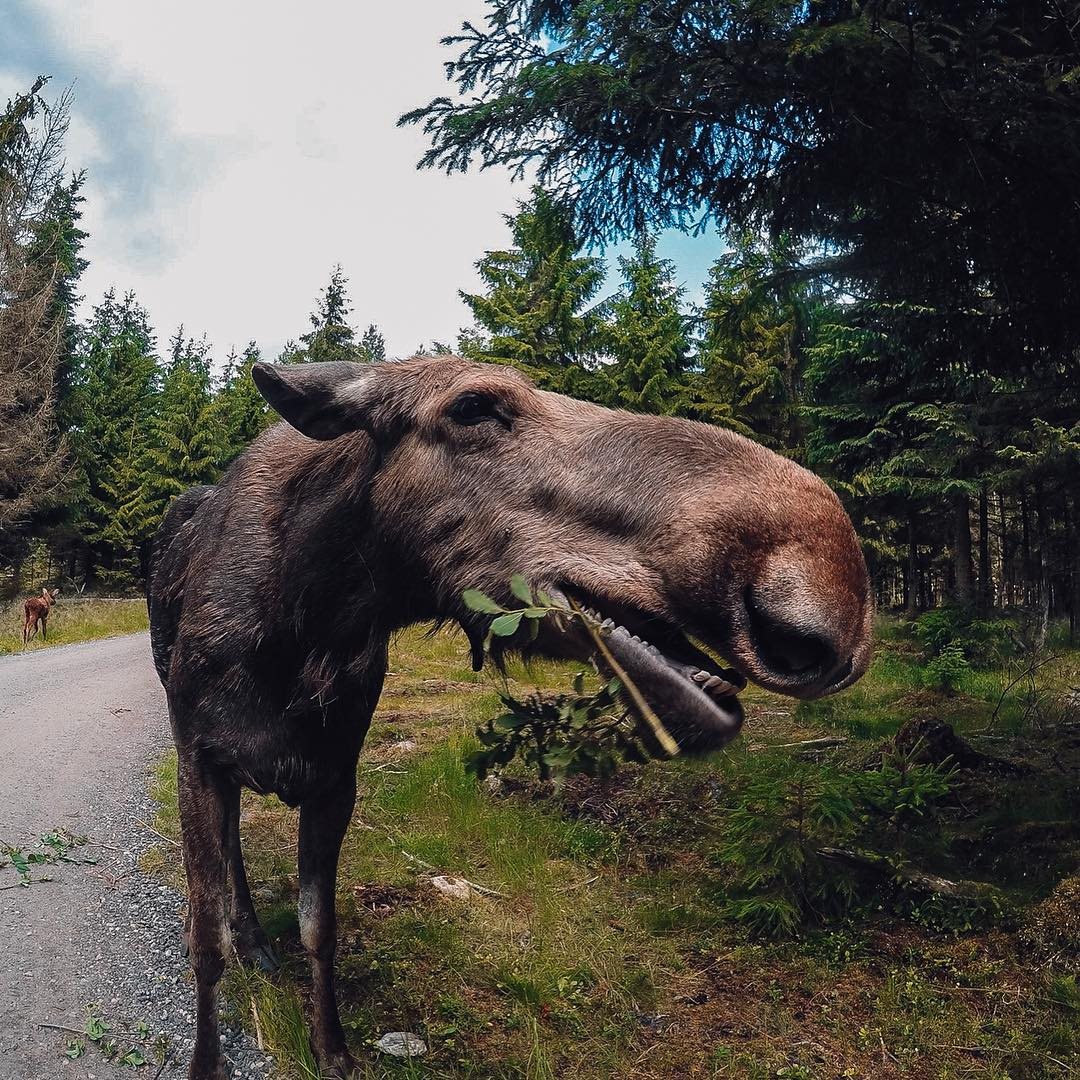 Photo of the Day! Laurits Ringgaard catches a moose chowing down in Sweden. Submit your best photos by clicking the link in our profile. #GoPro #Moose #GoProTravel