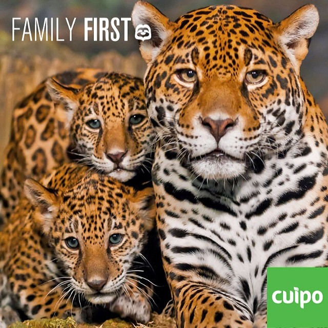 JOIN US. Cuipo.org #saverainforest #cuipo #familyfirst #tigers