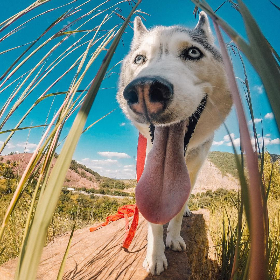 Sun's out, tongue's out! @melissa_sashahusky spent her weekend hiking with her #HERO4Session in Slatington, PA! #GoProLiveIt