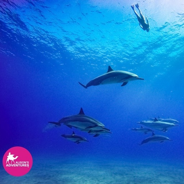 @alisonsadventures show us we are just one of many #beautiful #creatures on this #earth! #help bringing back to #life! Be #conscious of your #footprint it will take all of us to #save this #planet! #sarahleephoto #dolphins #hawaii #swimming...