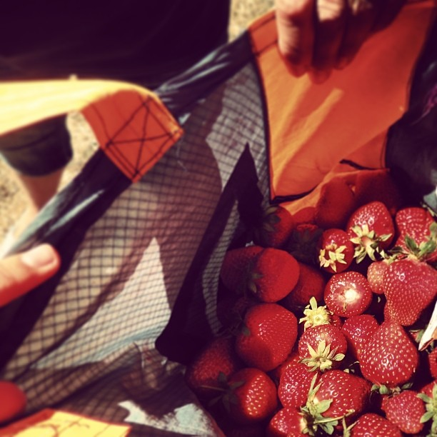 #strawberries fields Curanipe, Chile.  #stayclassic #mafiaclassic