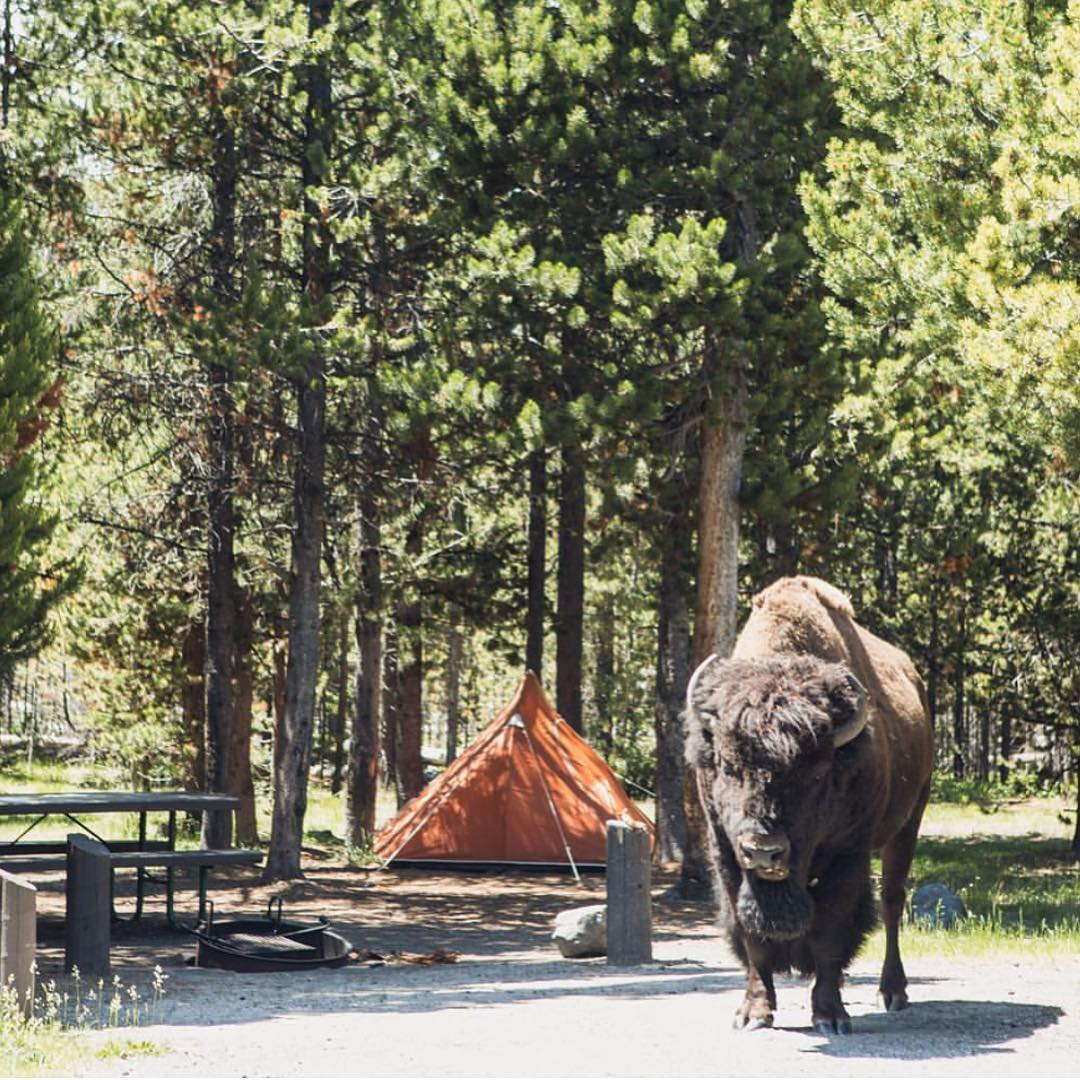 @wildwanderers had an unexpected campground visitor in @yellowstonenps. Always respect the locals. #radparks