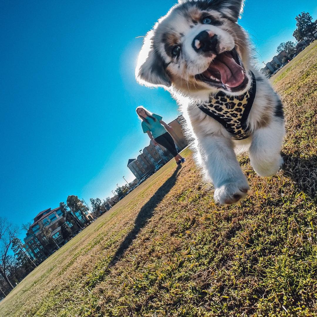 Photo of the Day! Guess who is stoked to go to the park?! Koda the pup is! @raystovall_ tied a string to his GoPro and Koda loves to chase it through the park. Share your best puppy moments with us by clicking the link in our profile. #GoPro...
