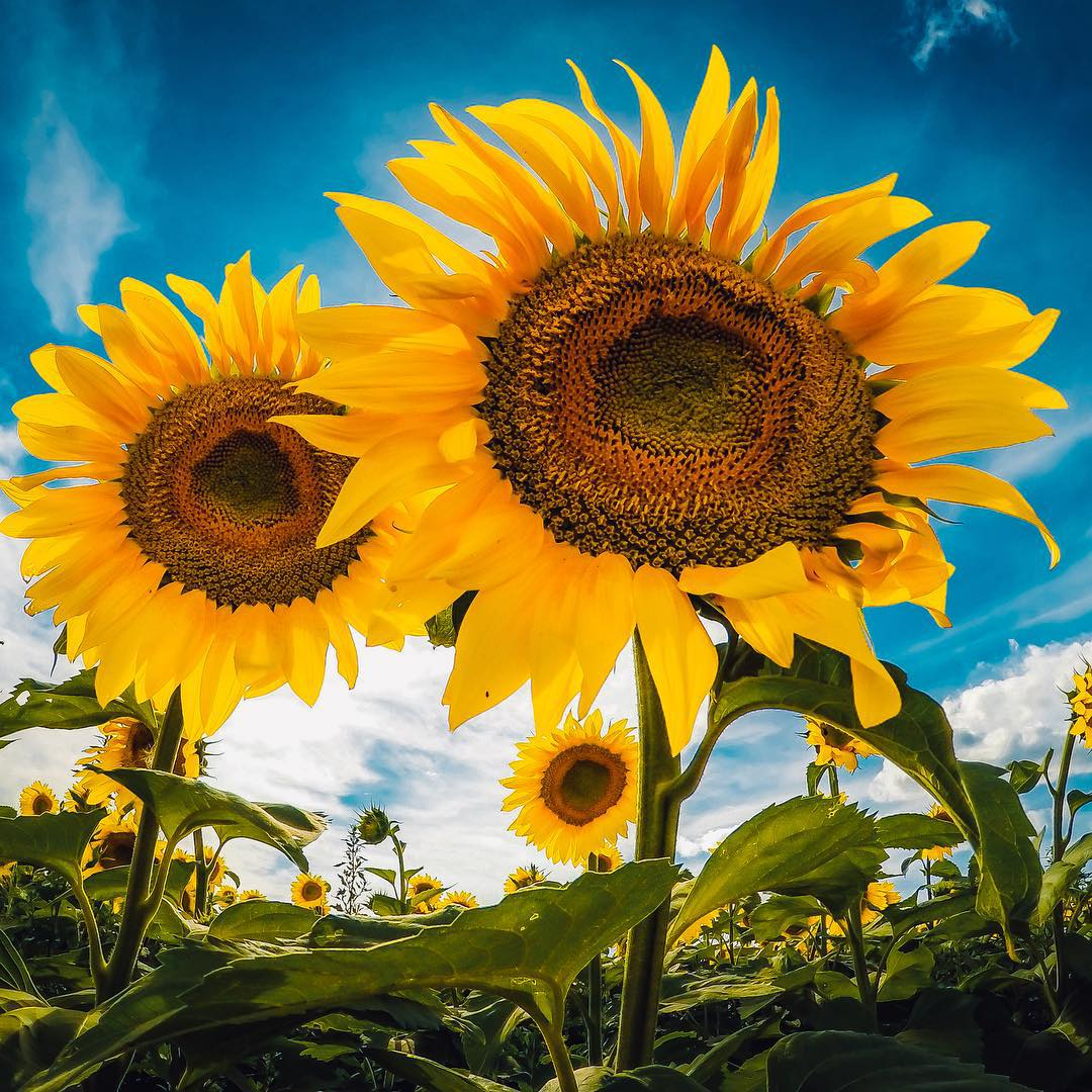 Photo of the Day! Sunday sunflowers at the Pope Farm Conservancy, some of the 50,000 in full bloom during 'Sunflower Days' in Middleton, Wisconsin. Image via @reelwavemedia. Share your best summer moments with us by clicking the link in our...