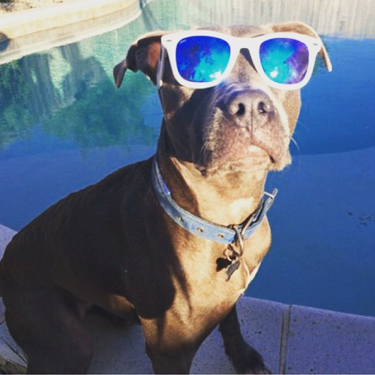 Dogs need sun protection too! Waveborn offers #sunglasses for every face shape #dogsofinstagram #waveborn #pitbull
