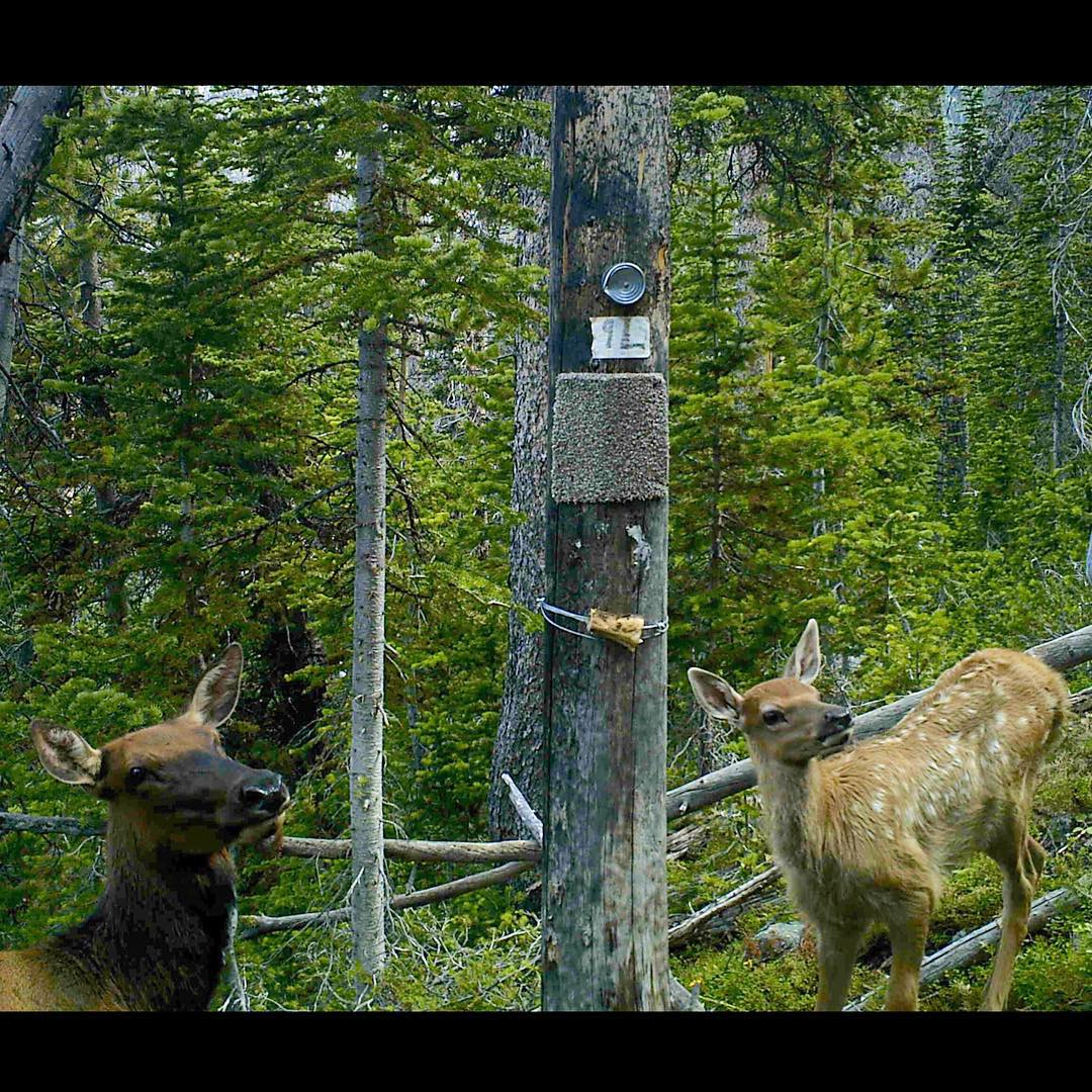 Did you know #elk calves are born with spots and almost no scent, to camouflage them from predators? This calf captured with its mother on an #ASCUintas camera still wore spots mid-summer.  #CameraTrapTuesday #TrailCamTuesday #camo
