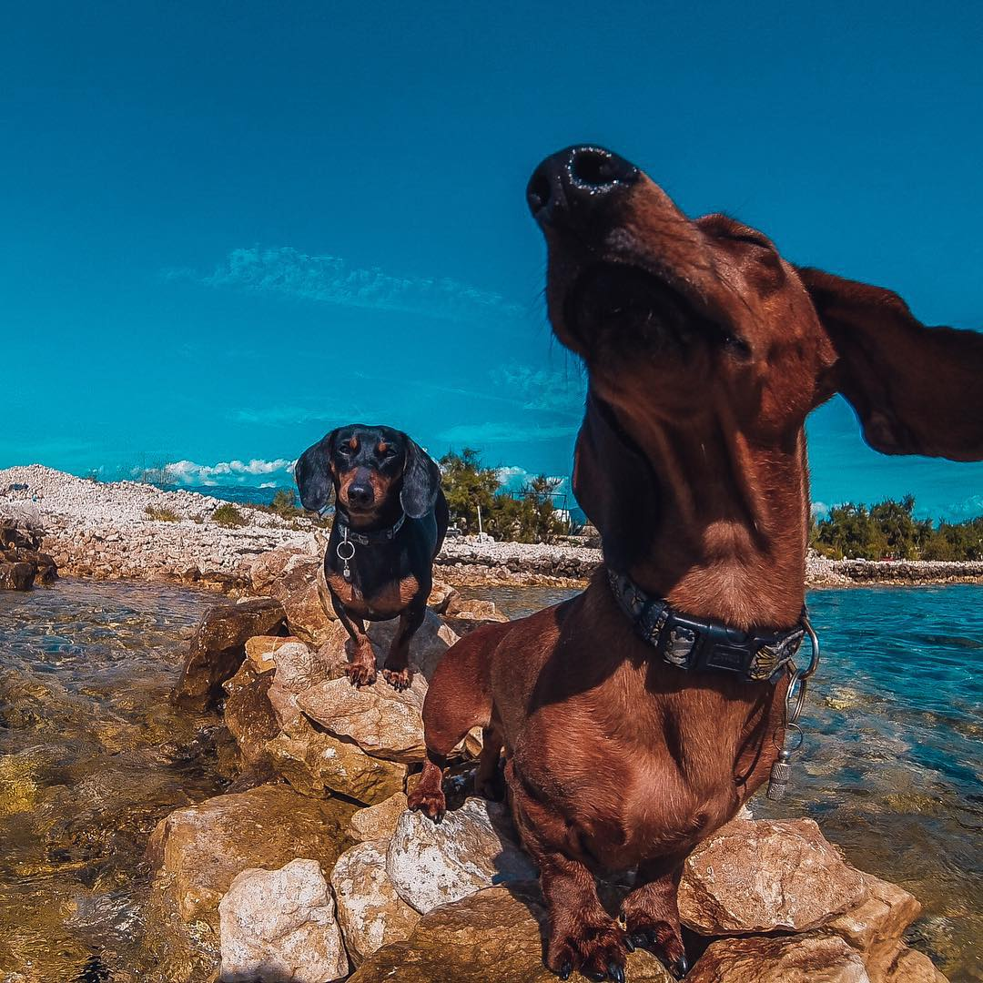 Photo of the Day! Darwin & Pascal LOVE the wind under their ears while sunning on Pag Island in Croatia. Image by @fixxxerba. Share your best moments by clicking the link in our profile. #Dogsofinstagram #GoProPets