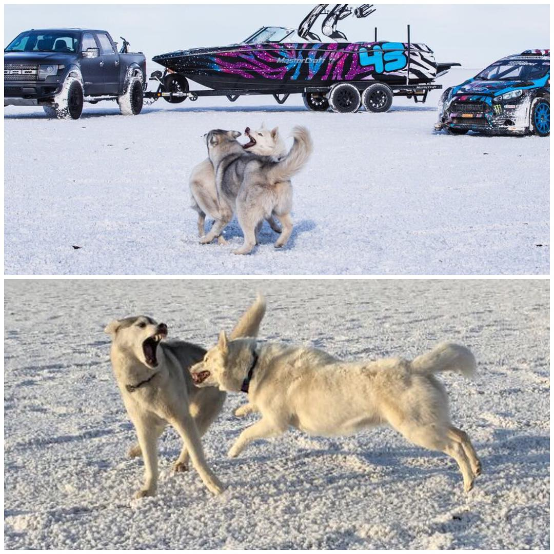 "The ""talent"" at the salt flats got quite bored, with not much around to smell or pee on. #whendogsattack #worstmodels #BentleyChickenFingersBlock #YukitheDestroyer #BonnevilleSaltFlats"