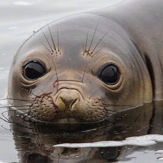 Una elefanta marina nos miraba con los ojos bien abiertos a metros de llegar a la punta de Tierra del Fuego - El Faro del Cabo San Diego. #peninsulamitre #conservemos #tierradelfuego