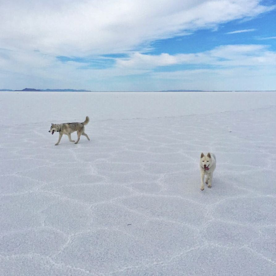 Bentley and Yuki are always a bit confused when they come to this epic place. I don't think they like it here as much as I do! #BonnevilleSaltFlats #BentleyChickenFingersBlock #YukitheDestroyer