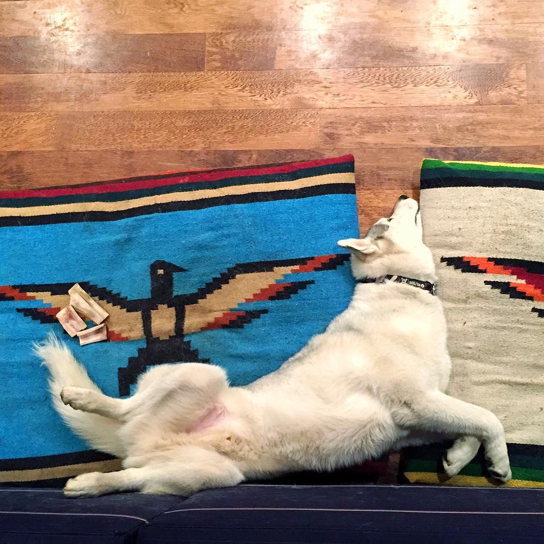 """Oh you know, just another """"comfortable"""" sleeping position for Mr. Bentley. #suchcomfort #contortionist #BentleyChickenFingersBlock"""