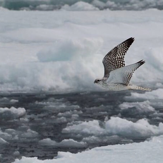 We'll be looking for these Arctic falcons whose migration patterns help scientists understand climate changes. Support us if you can by visiting Indiegogo and searching for Shifting Ice and Changing Tides. @polartec_fabric @iamprosnow @backcountrycom...