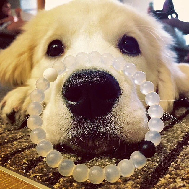 This one goes out to all those hearts of gold #happynationaldogday #livelokai Thanks @tuckert_thegolden