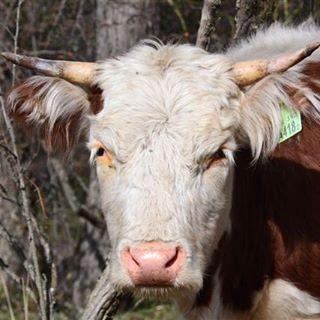 Tengo los cuernos afilados, los ojos de costado para poder mirar quien viene por cualquier lado, si es vaca o ser humano, quien se come el asado...quien es el familiar. #4pesosdepropina #surargentino #vaca #toro #animalsworld #estaes_animal...