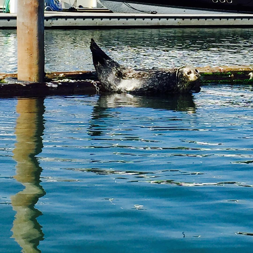 always be friendly to the locals  #harborseals #sup #saveouroceans #sealife #happy #seal #sausalito #louseal #gogiants #OKIINO #madeinsanfrancisco