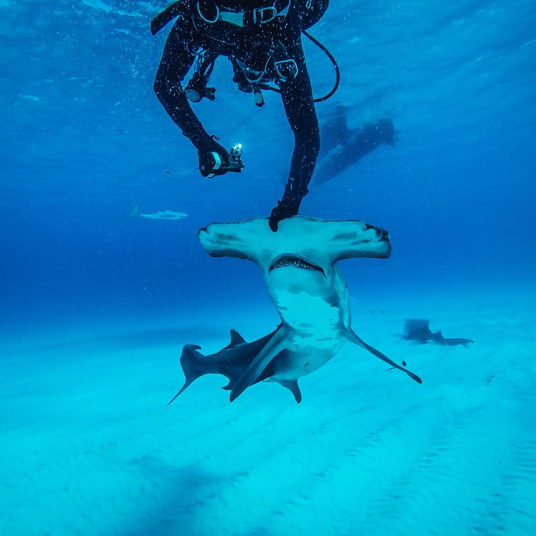 "GoPro Featured Photographer - @abc4explore Andy Casagrande  About the Shot - Hammerhead Fin Cam: I have always been fascinated with the ""secret life of sharks"" so I decided I was going to deploy my #SharkFinCam onto the dorsal fin of this ..."