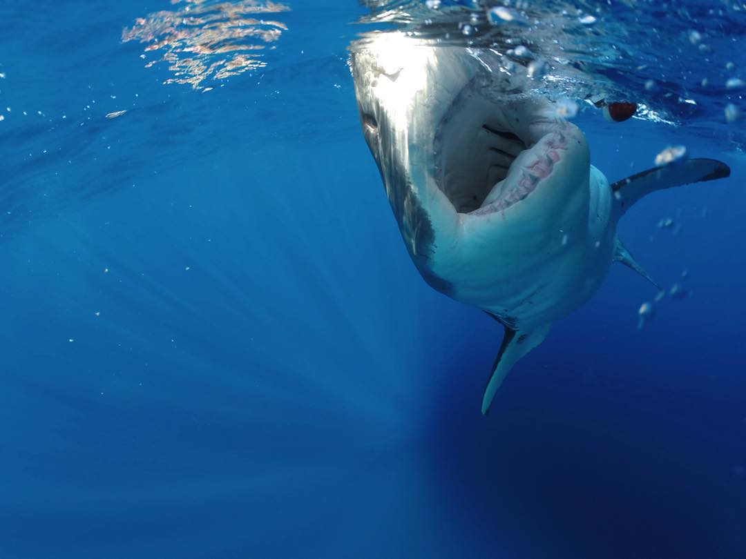 "GoPro Featured Photographer - @abc4explore Andy Casagrande  About the Shot - Great White Bite Shot: I was filming #GreatWhiteSharks for @SharkWeek out at Guadalupe, Island Mexico when this very ""friendly"" shark showed up and just kept coming up to the..."