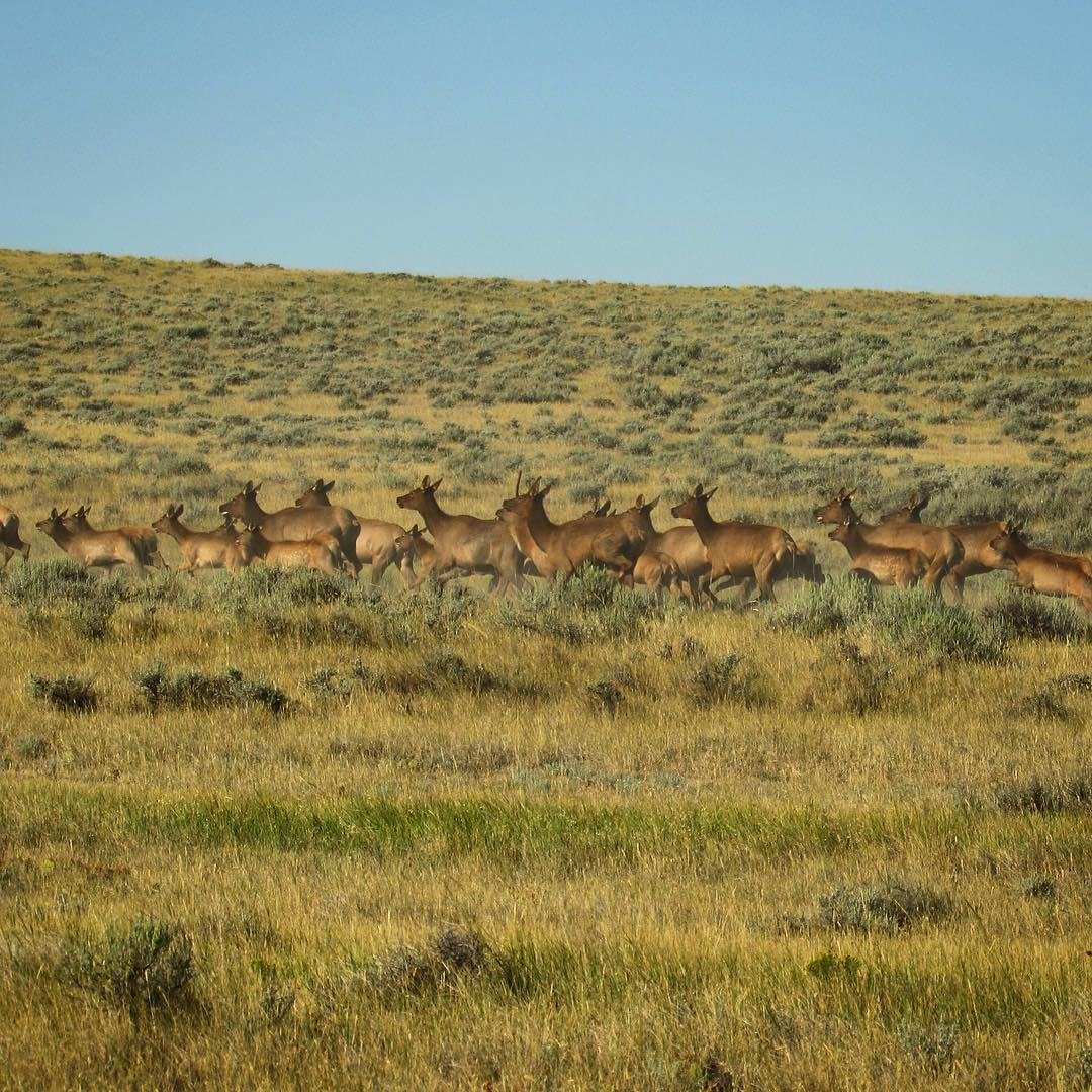 Elk crossing!  The #ASCLandmark crew at @americanprairie just got a big surprise when they came across a herd of about 500 running through the road close to Burnt Lodge.  #elk #wildlife #prairie